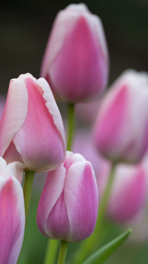 Pure feelings EyeEmNewHere Pure Purity. Rose Coloured Rose Colour Spring Feeling Tulips Beauty In Nature Blooming Close-up Day Flower Freshness Growth No People Pastel Colors Petal Pink Color Plant Pure Feelings Rose Colored Glasses Rose Coloured Tulips Tender Tenderness Tulip Feelings