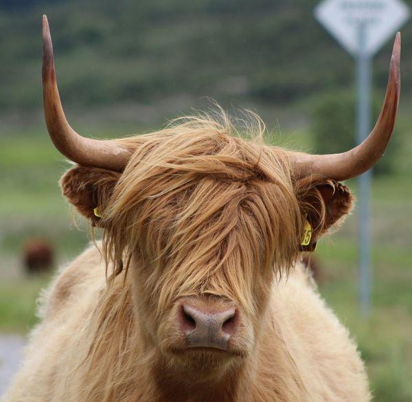 Highland Cows Beautiful Creature Scotland The Highlands Taking Photos