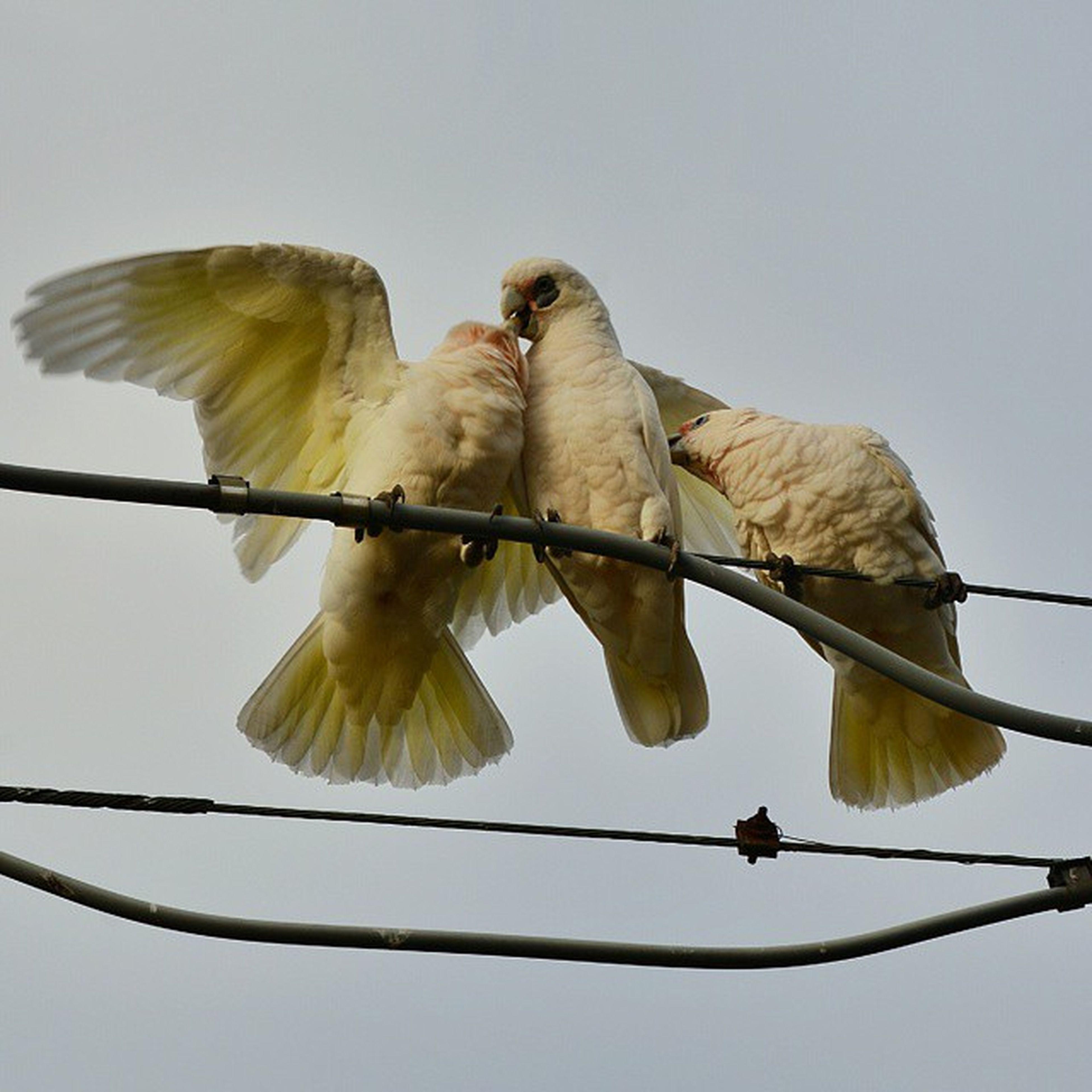 Corelas Australianbirds Parrots Melbourne Melbournebirds Feeding