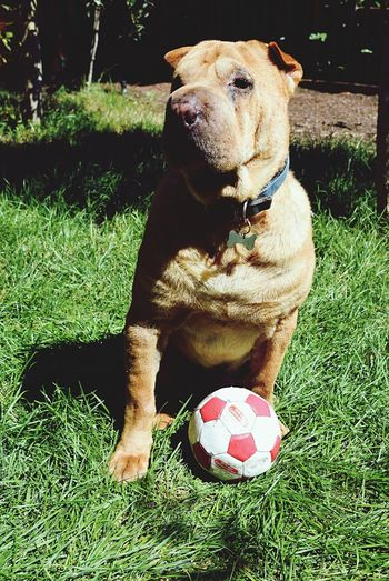 The Color Of Sport Domestic Animals Shar Pei Football Training Time Training Dog Ready To Play  Fynnymoments  FUNNY ANIMALS Enjoying Life Wrinkly Dogs Bestoftheday BestEyeemShots