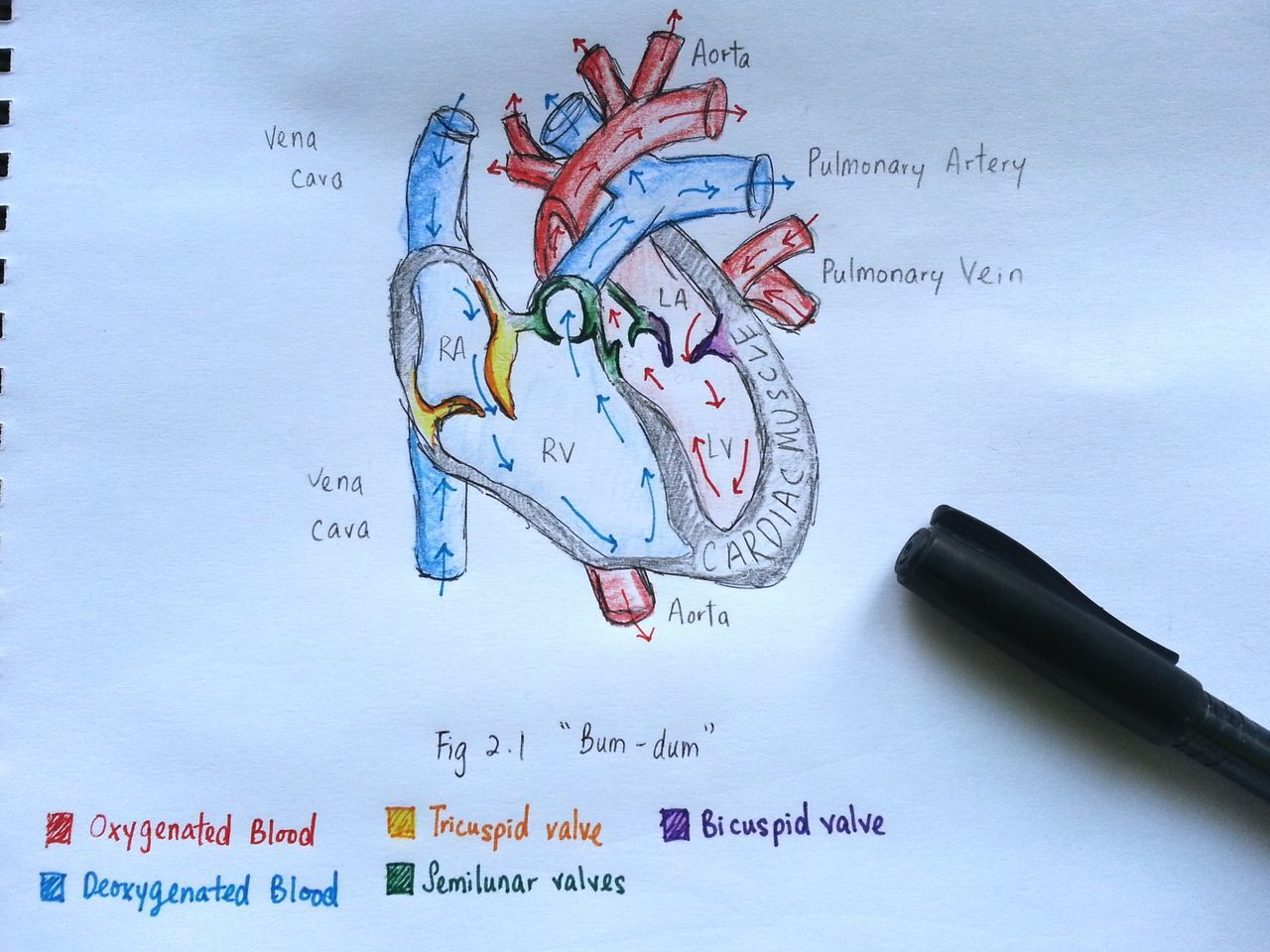 Just a little bit of studying :) Notebook Studying Study Time Notes Science Class Science Biology Heart Study Studying Hard Making Notes Diagram Drawing