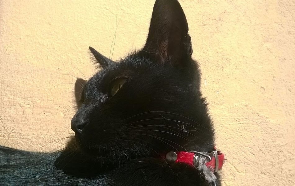 Animal Themes Black Color BLackCat Blackcatlove Close-up Day Domestic Animals Domestic Cat Feline Mammal Nature No People One Animal Outdoors Pets