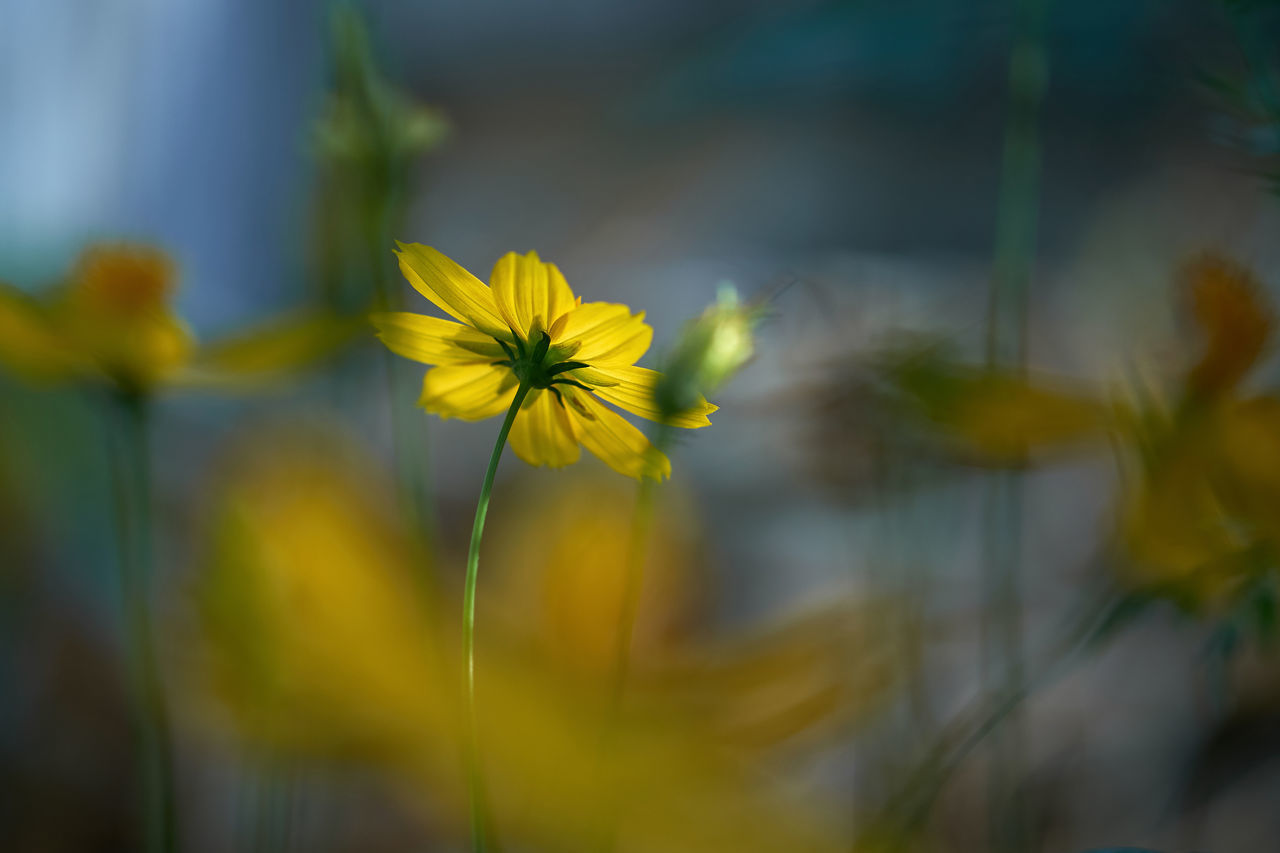Beauty In Nature Close-up Cosmos Flower Day Flower Flower Head Fragility Freshness Nature No People Outdoors Petal Plant Springtime Yellow