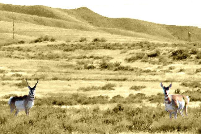 Antelope Arid Climate Badlands Buck Doe Prairie Goats Worland WY Wyoming Zoology