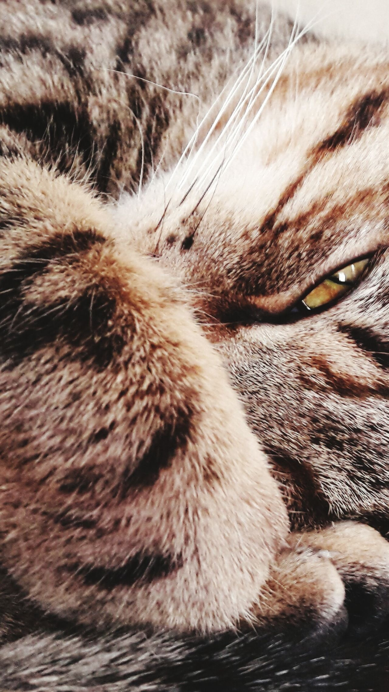 Domestic Cat Domestic Animals Pets Feline Close-up Cat Wallpaper Screensaver Screen Lock Onscreen Animals Lovecats Lovecats❤️ Animal Themes Theme Cute♡ Cats Close Up Closeup Fur Furry Furry Friends Furryfriend Layout