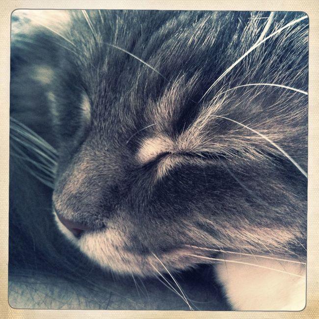 眠る猫 Monochrome Main Kuhn Cat♡ Pretty くぅ ねこ 猫 メインクーン