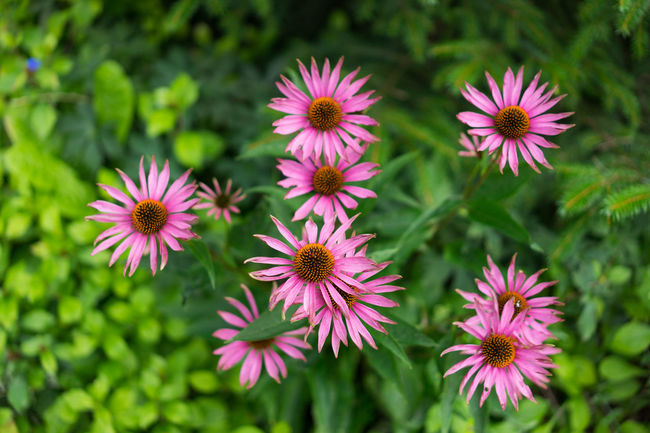 Beauty In Nature Bloom Blossom Botany Close-up Daisy Day Flower Flower Head Focus Focus On Foreground Fragility Freshness Green Color Growing Growth In Bloom Nature Petal Pink Color Plant Purple Selective Focus Softness Springtime