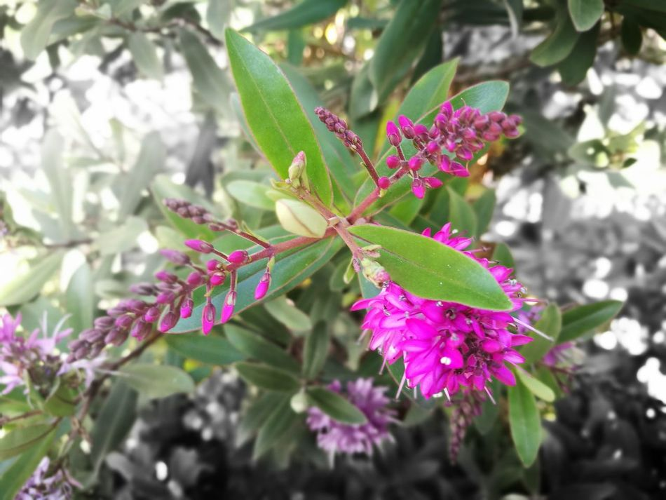Hebe Nature Plant Flower Leaf Growth Focus On Foreground Close-up Day Outdoors No People Freshness Flower Head Beauty In Nature