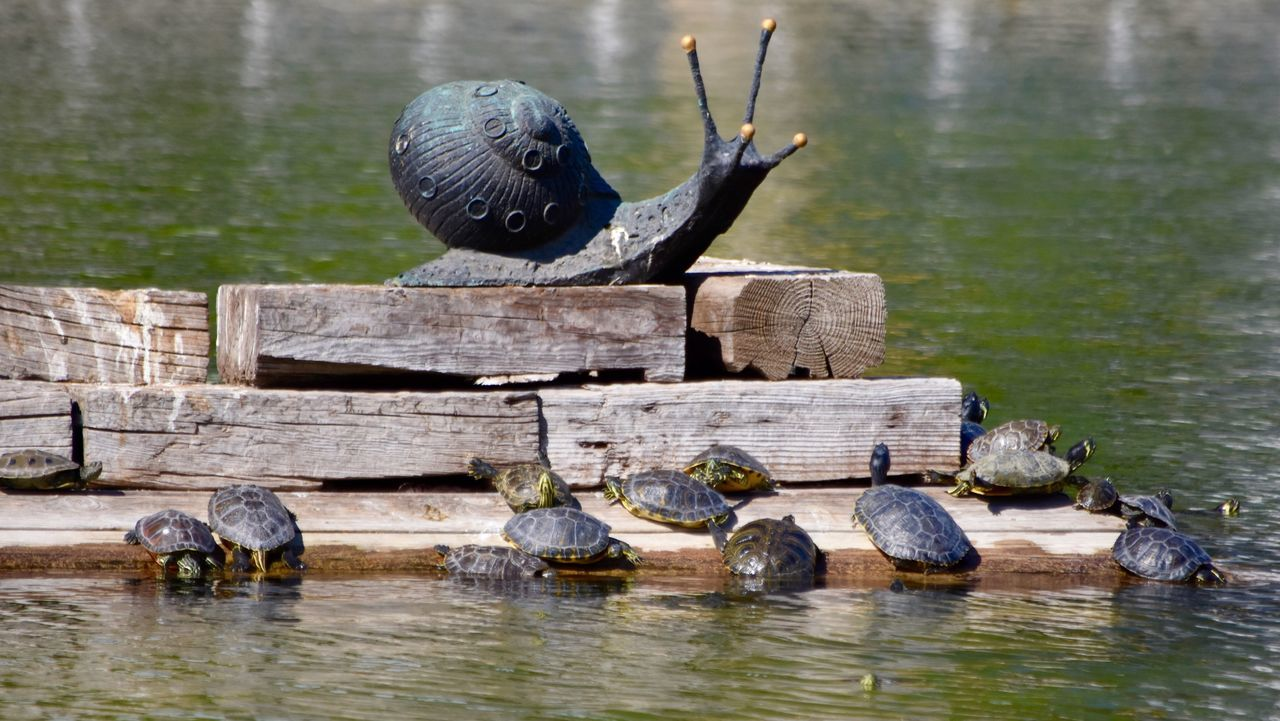 Slow Matters Snail Turtles Pond Water Lake Animals In The Wild Wildlife Bird Reflection Two Animals Swimming Waterfront Zoology Day Nature Water Bird Riverbank Exceptional Photographs Eye4photography  Let's Do It Chic! First Eyeem Photo Respect For The Good Taste
