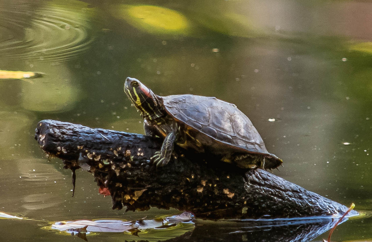 Animal Themes Animal Wildlife Animals In The Wild EyeEm Best Shots - Nature EyeEm Nature Lover Nature No People Painted Turtle Riverside Photography Wildlife & Nature Wildlife Photography