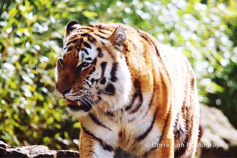 March, Tiger