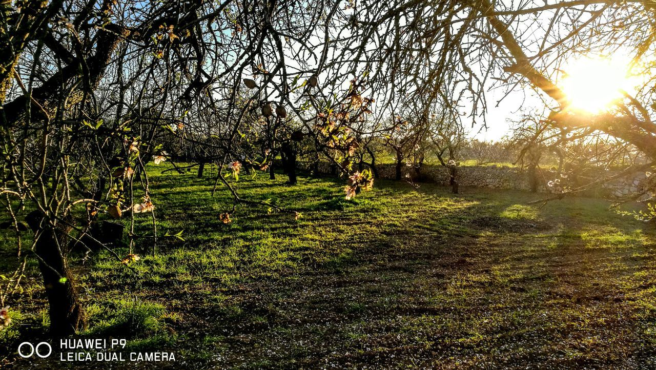Garden of Almondtrees...Mallorca... Sunlight Tree Growth Nature No People Green Color Low Angle View Day Tranquility Backgrounds Beauty In Nature Outdoors Scenics Grass Sky Nostalgic Scene GetbetterwithAlex PalmaDiMaiorca Originalpicture