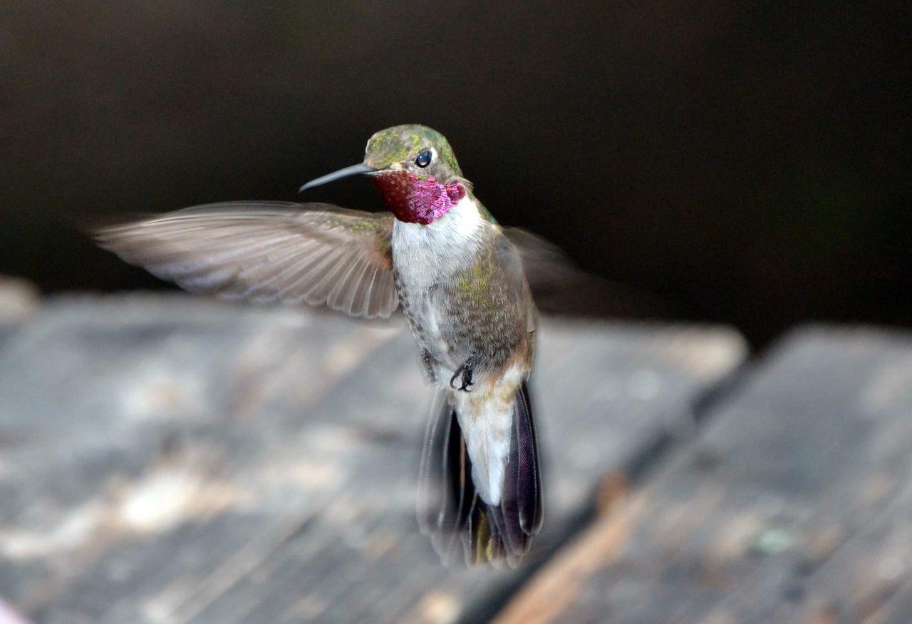 Bird Bird Photography Close Up Closeup Colorful Colors Flying Bird Hummingbird Hummingbirdphotography Nature New Mexico