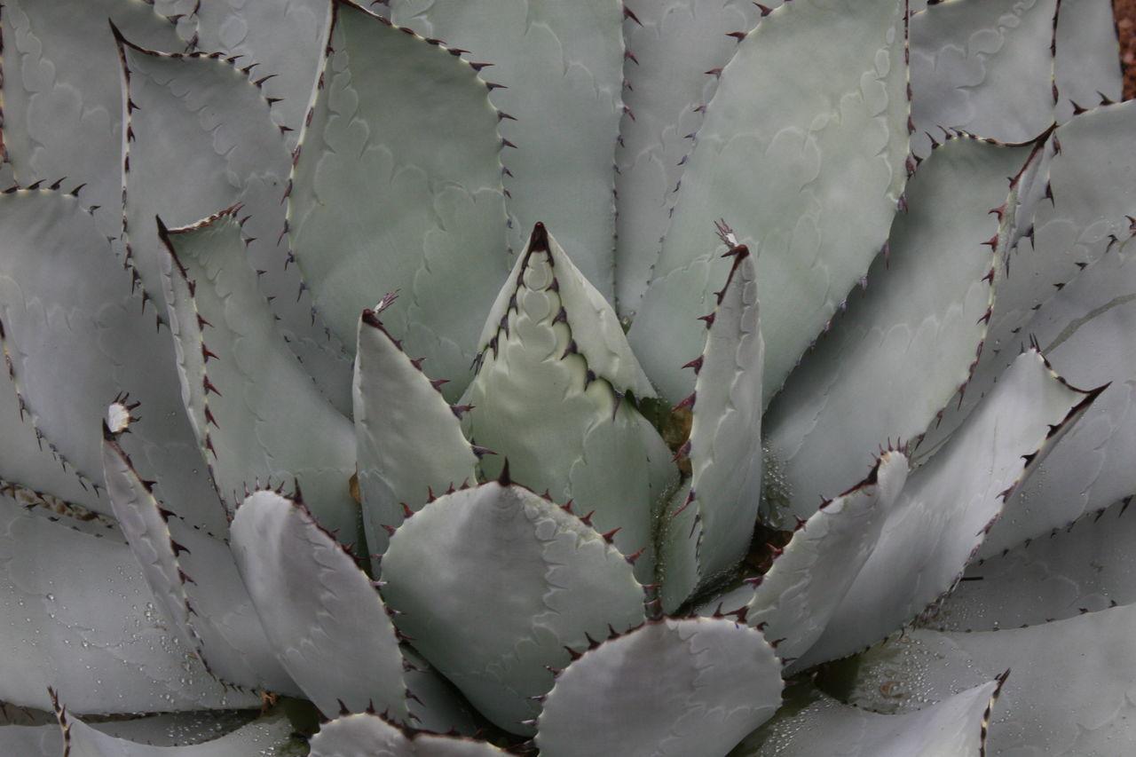 Beauty In Nature Cactus Close-up Desert Growth Plant Sharp Succulent Plant