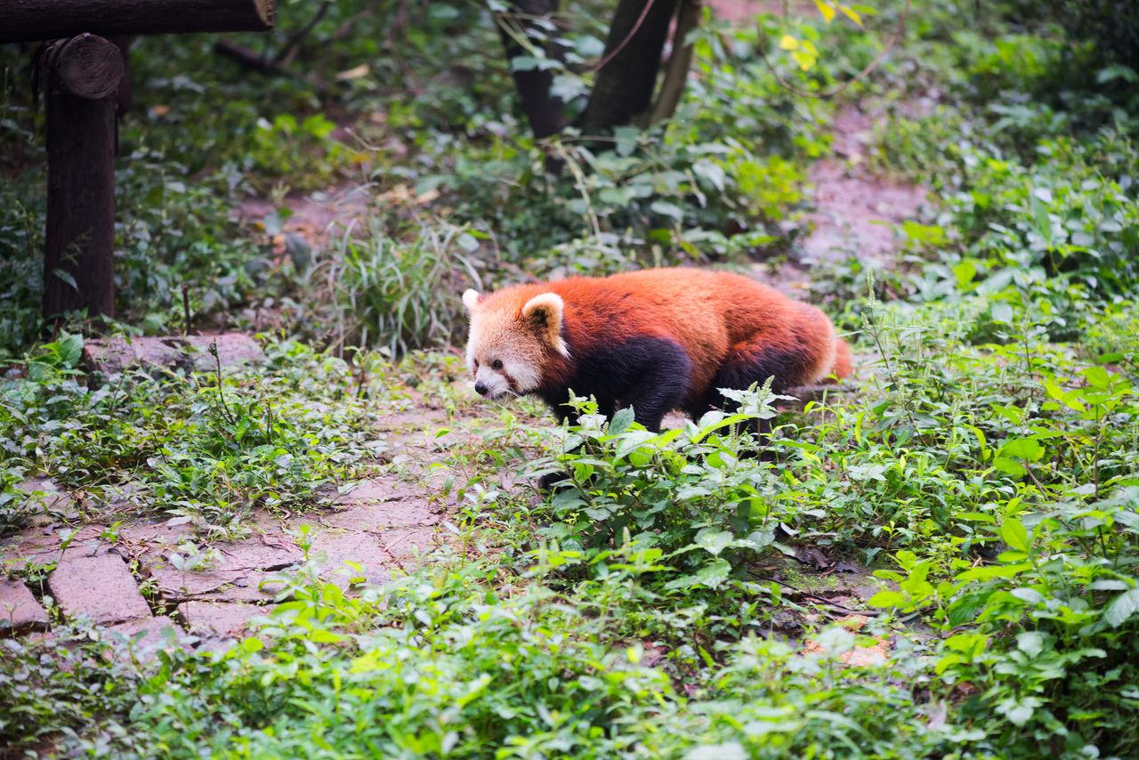 Red panda walking in the forest, Chengdu, Sichuan Province, China Little Panda Little Panda Bears ^.^ Nature One Animal Red Panda