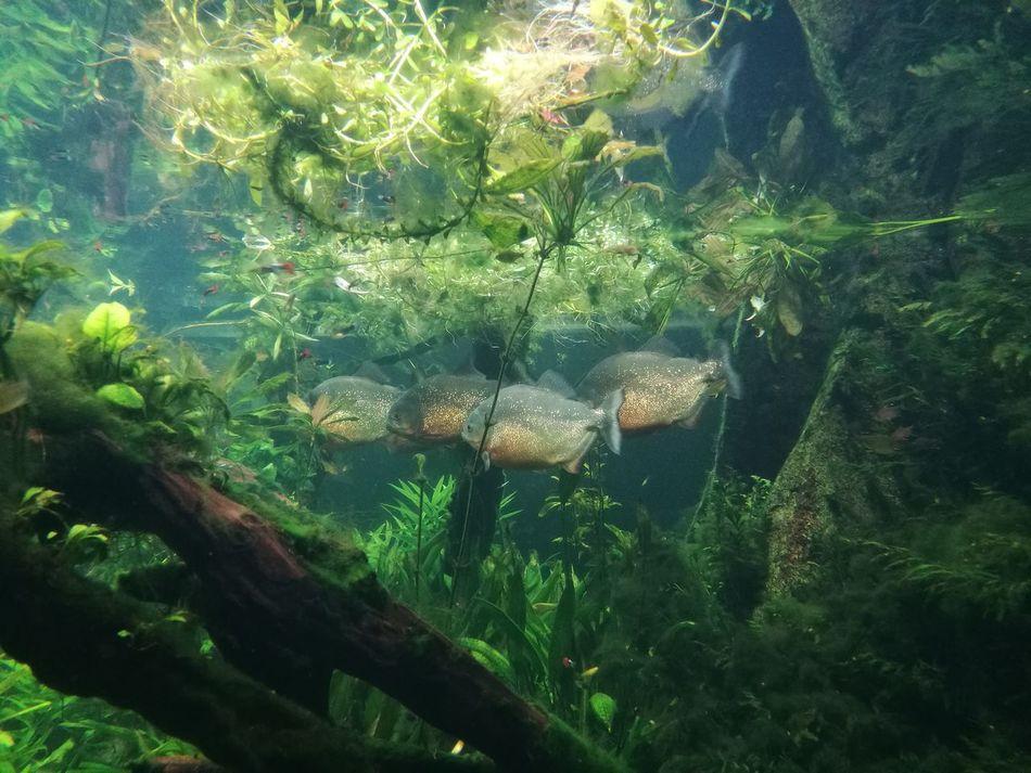 Wildlife Sea Life Underwater Water London Aquarium Piranhas Piranha Glittering Nature First Eyeem Photo