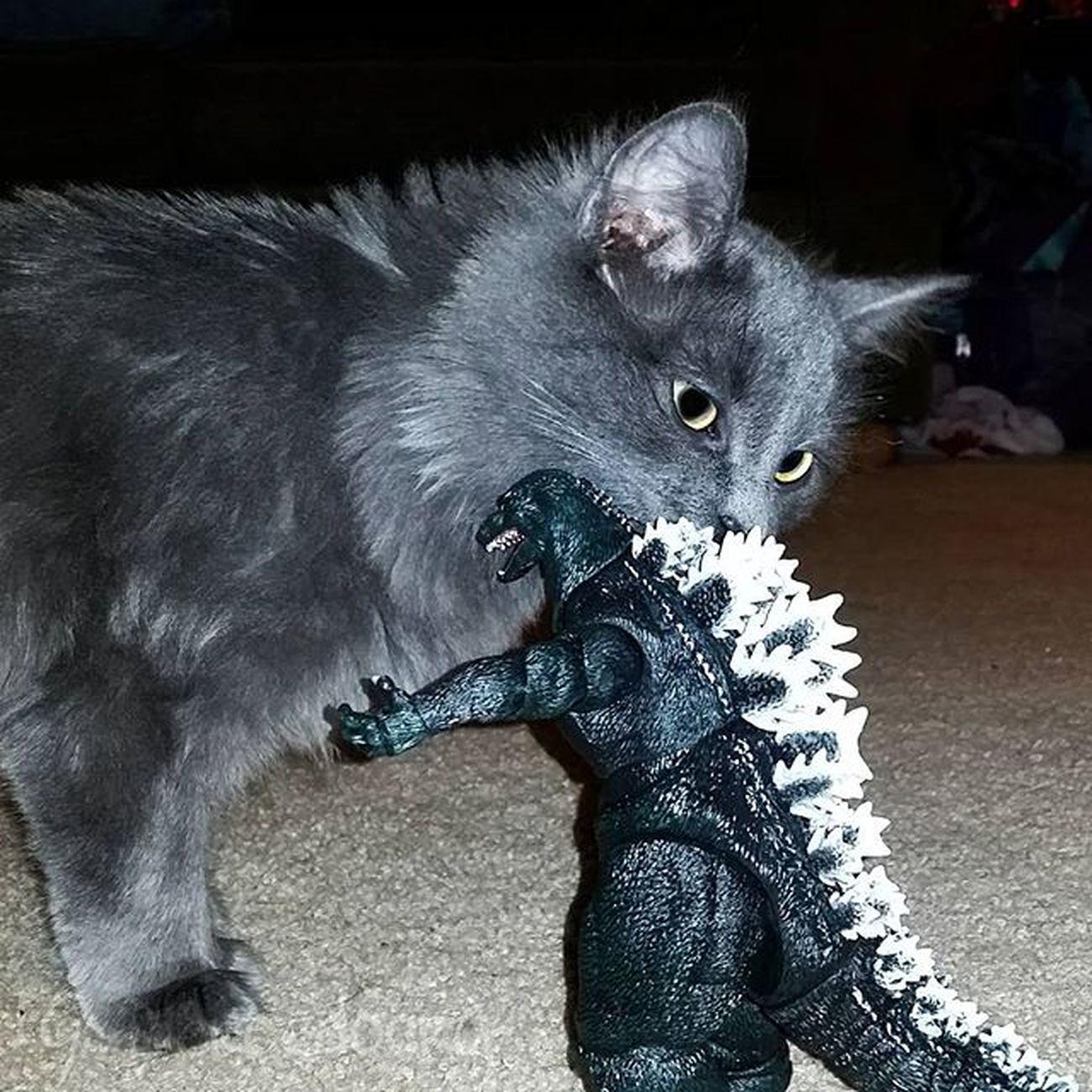 Godzilla vs Mega fluffy Tcb_megachomp Tcb_followruleslikeme Godzilla Instakitten Sofluffyimgonnadie Instacat
