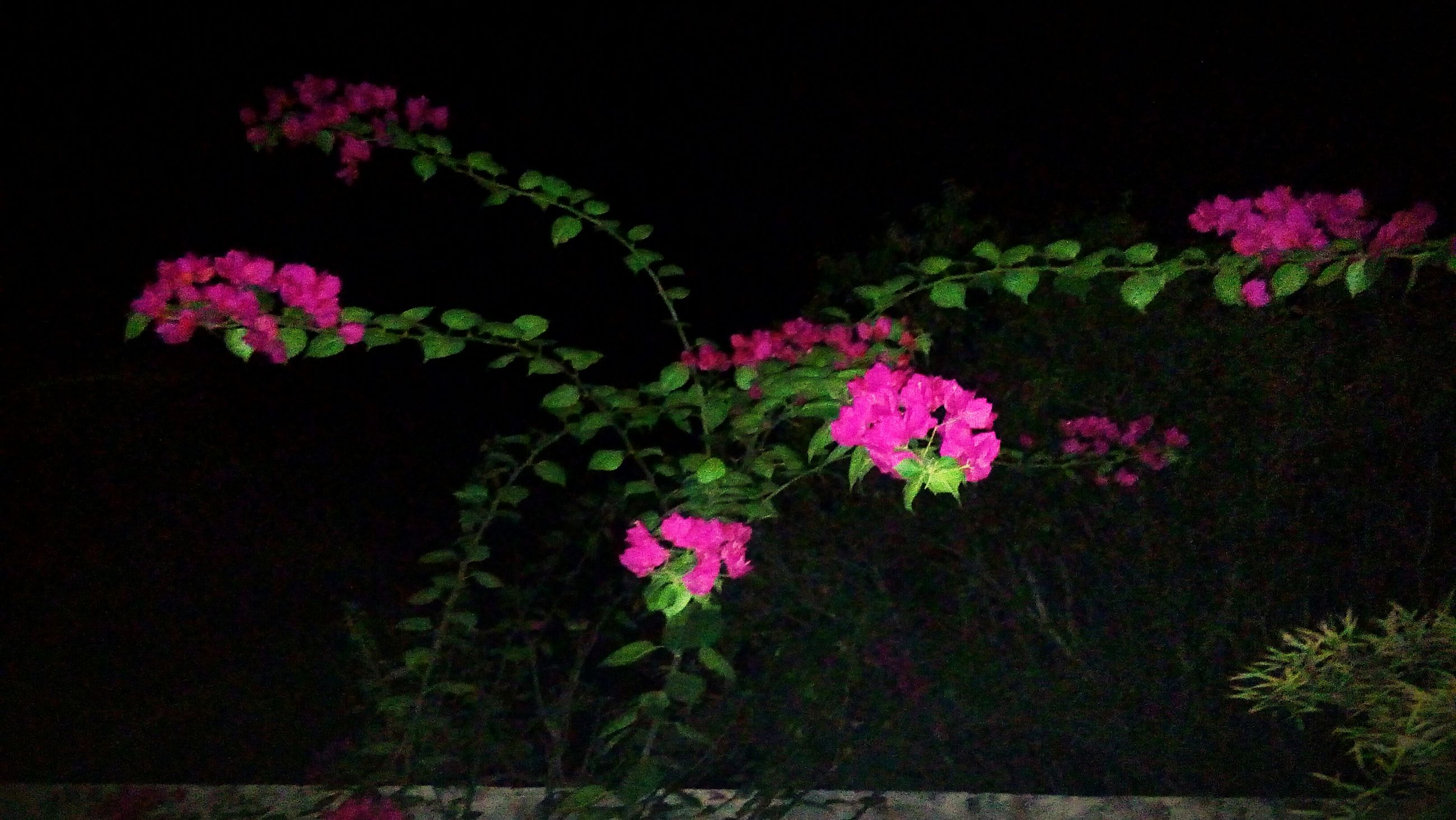 flower, growth, pink color, plant, freshness, fragility, nature, blooming, no people, beauty in nature, night, outdoors, flower head, close-up