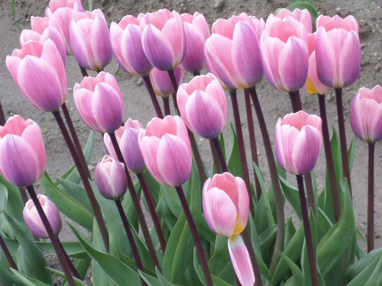 Tulips, no filters. Pink Color Flower Blooming Freshness Plant PNWonderland Tulips Tulip Tulip Flowers Tulipseason Tulips In The Springtime Tulips Time Pink Pink Tulips Pink Flower Pink Flowers Pink And Violet Violet Violet Flowers Violet Tulip Pink And Green Violet And Green Nofilter No Filters  No Filters Or Effects