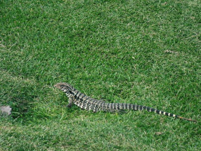 King lizard. Lizard Carambeí Parquehistoricodecarambeí Paraná Brazil Wildlife