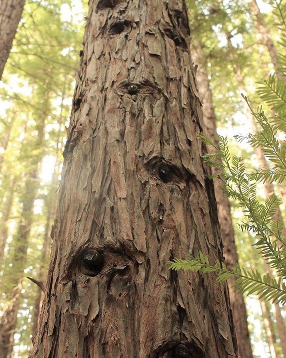 Redwoods Californianredwoods Warburton Nature Forest Eyes
