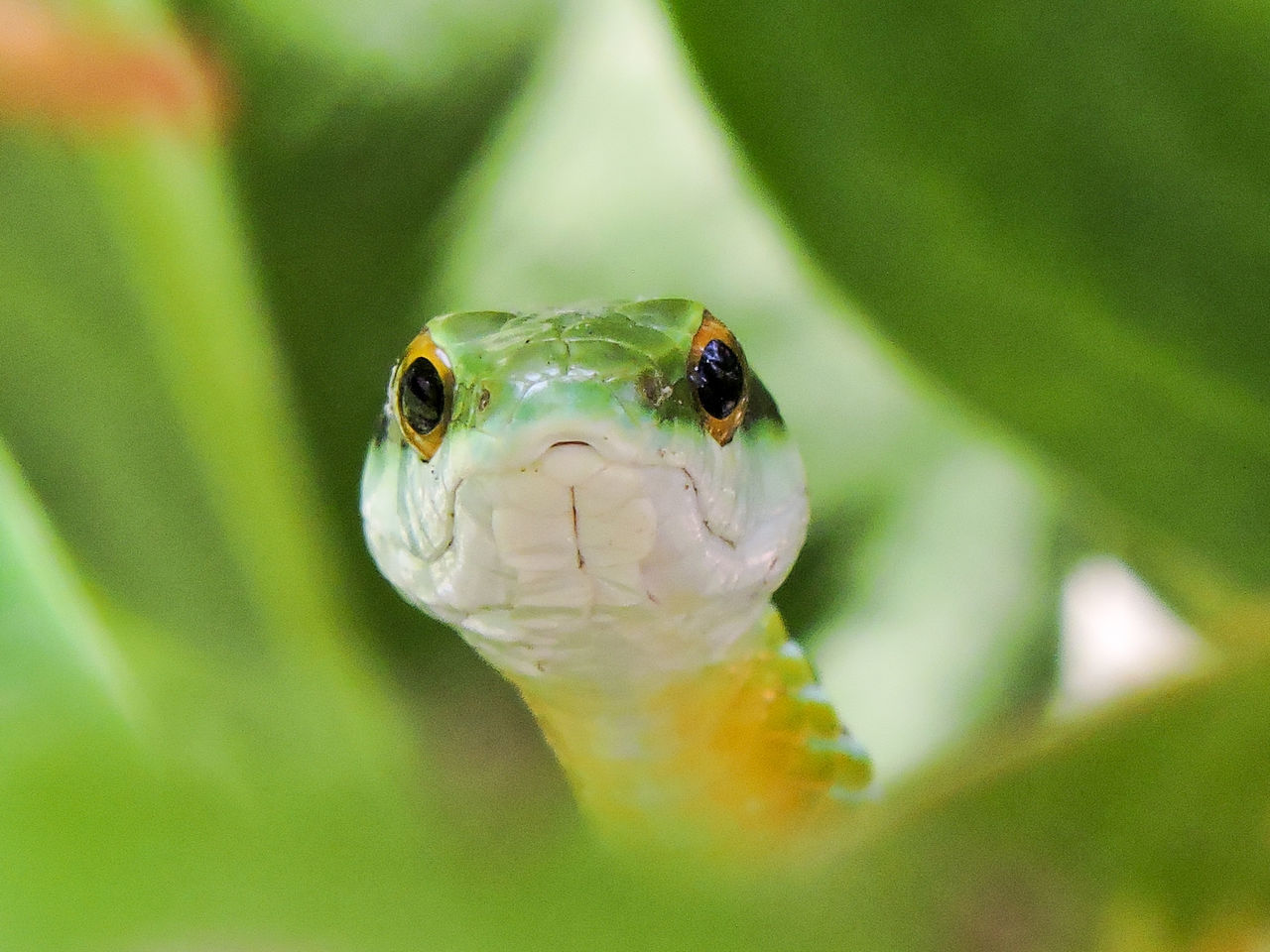 Animal Animal Portrait Beauty In Nature Close-up Eye Contact Focus On Foreground Green Green Color Green Snake Magazhu Nature No People Outdoors Reptile Selective Focus Snake Tropical Tropical Animal Tropical Snake Wildlife Yelapa Showcase July