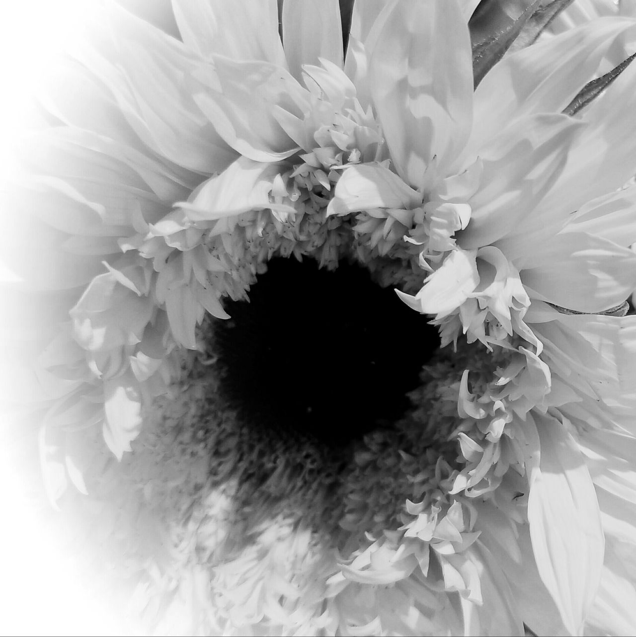 BLACK -N-WHITE HOLE Flower Fragility Freshness Flower Head Petal Close-up Beauty In Nature Nature Growth In Bloom Single Flower Botany Blossom Springtime Extreme Close-up Day Full Frame Pollen Blooming Monochrome Photography MUR B&W The Song Of Light Black And White Flowers MUR HARVEST
