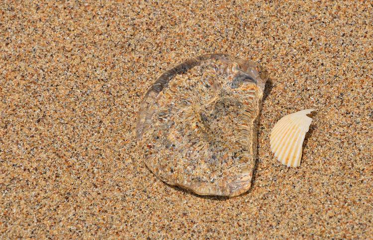 Jellyfish on sand sea beach Beach Jelly Fish Jellyfish Magnifying  Nature Ocean Sand Sea Sea Life Sealife Seashore Seaside Shell Shore Translucent Transparent Nature's Diversities