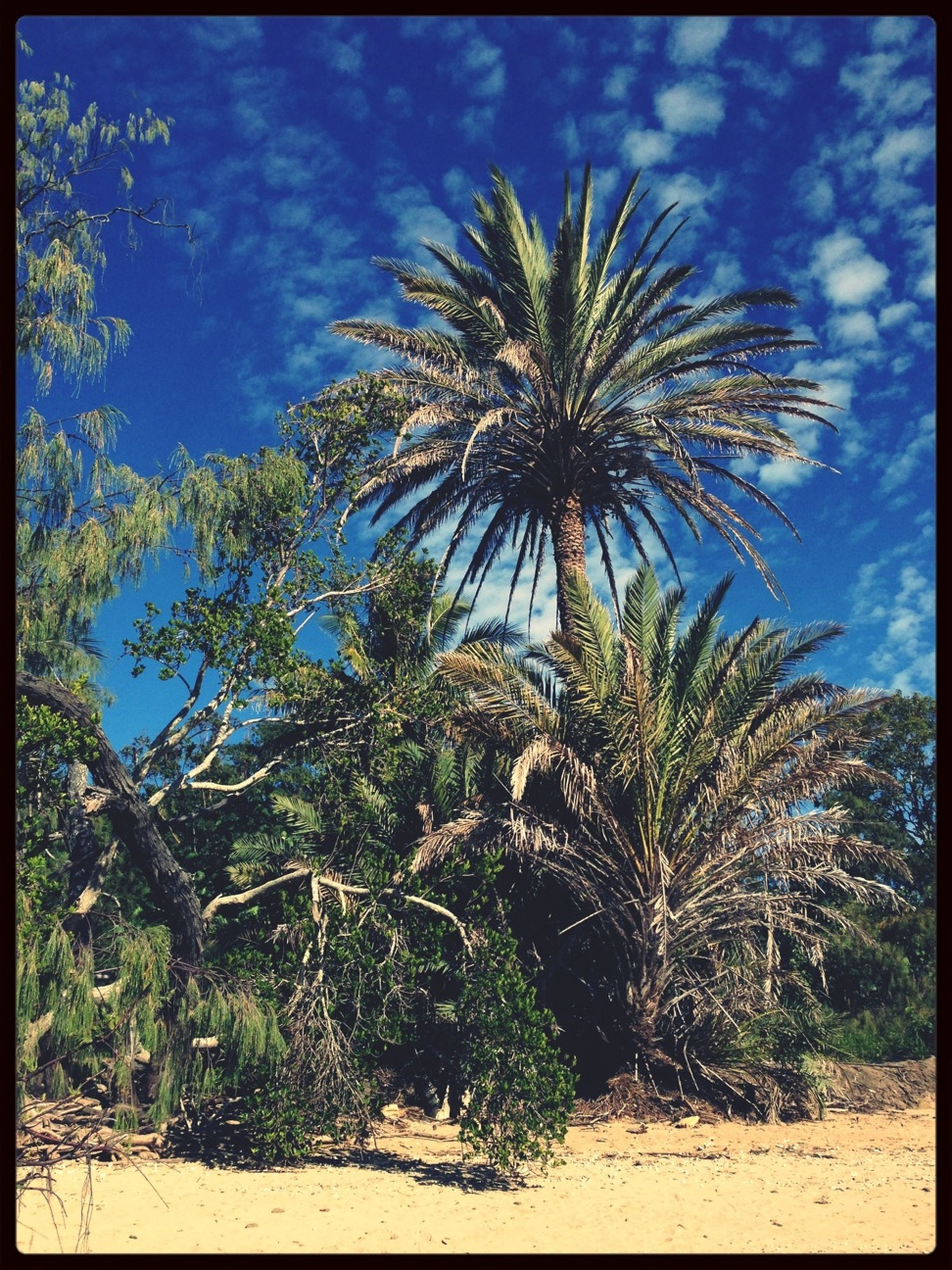 transfer print, palm tree, tree, auto post production filter, growth, sky, low angle view, nature, tranquility, beauty in nature, green color, cloud - sky, cloud, tranquil scene, day, plant, scenics, outdoors, blue, tree trunk