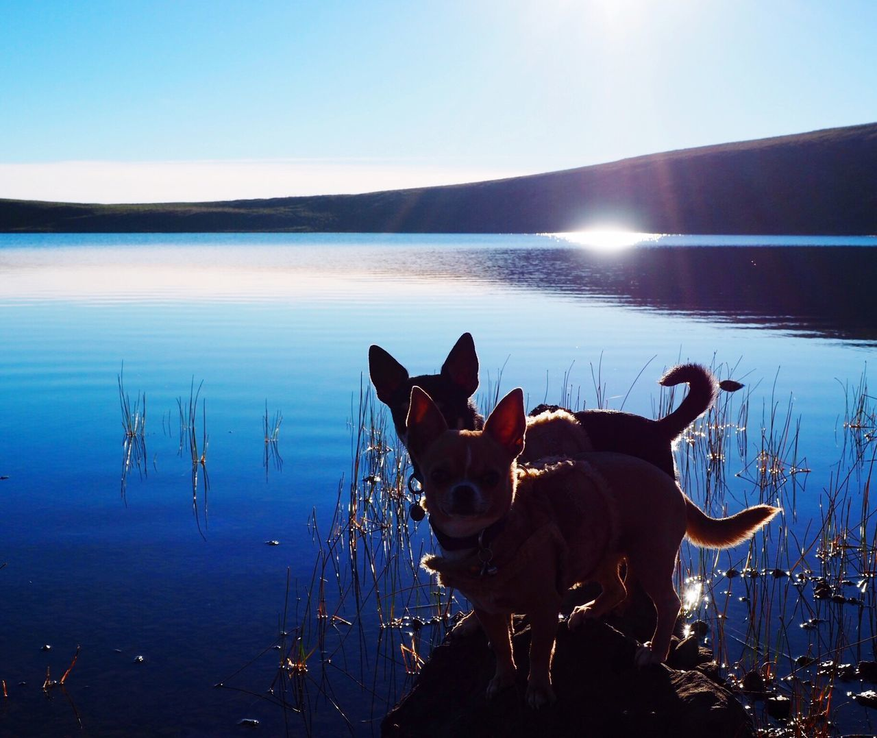 Beautiful stock photos of chihuahua, domestic animals, animal themes, reflection, one animal