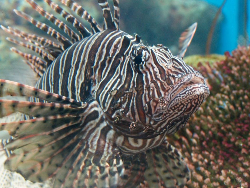 Animal Themes Beauty In Nature Close-up Day Focus On Foreground Lionfish Nature No People One Animal Outdoors Sea Life
