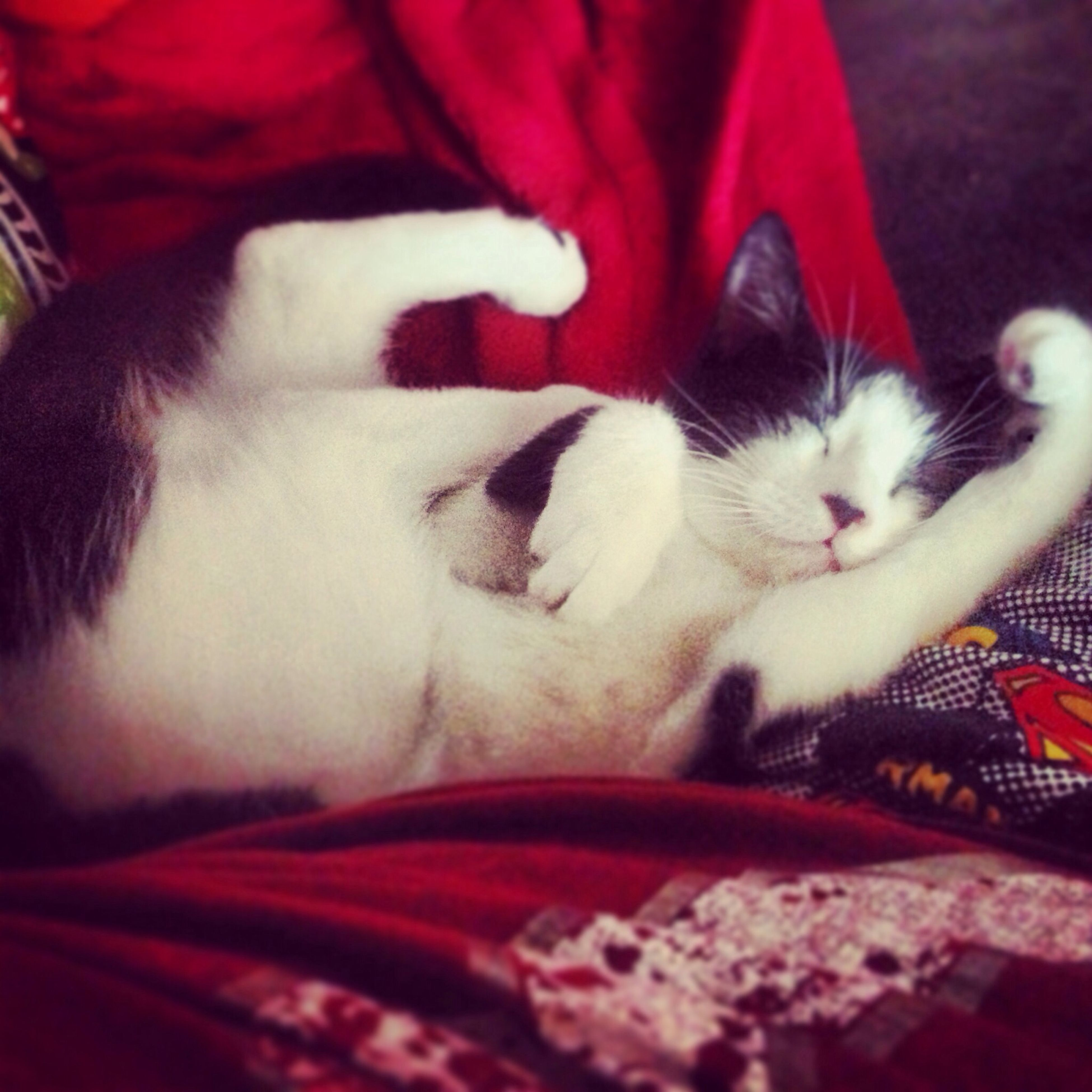 domestic animals, pets, domestic cat, animal themes, mammal, cat, indoors, one animal, relaxation, feline, sleeping, resting, lying down, bed, eyes closed, whisker, comfortable, sofa, close-up, blanket