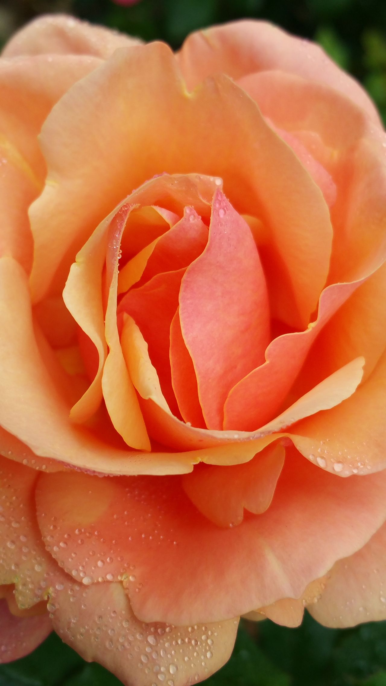 Blooming Blossom Botany Close-up Flower Pattern Texture Shape Design Fragility Freshness Peach Peach Rose Petal Pink Pink Color Red Rosé Rose - Flower Rosé Single Flower Macro Beauty Fine Art Photography Copy Space Serene EyeEm Nature Lover Still Life Photography Deceptively Simple