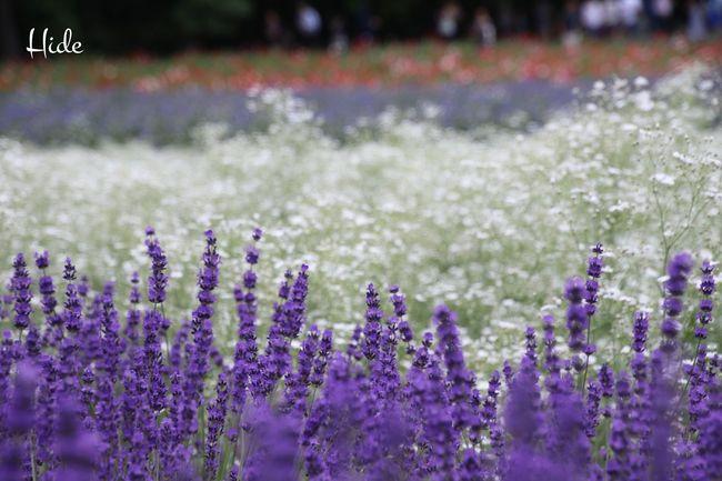 富良野 ファーム冨田 花 Flowers Furano ラベンダー Lavender カスミソウ