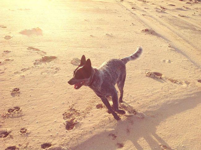 Beach Sand Dogs Dogslife Freedom IPadography My Dog Enjoying Life Tasmania Blueheelerfollow me