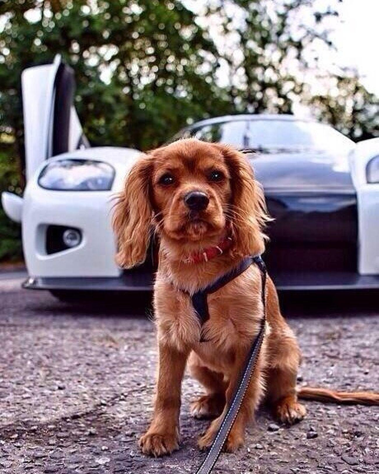 Babe Mybaby Baby Dog Terrier Territory Priences Prenses Superdog Pagani PaganiZonda Car Supercar Superhero Girl Ferrari Bugatti Agera  Agera R 458 Italia Lamborghini Porsche Lamborghini Aventador Lambo Goodday