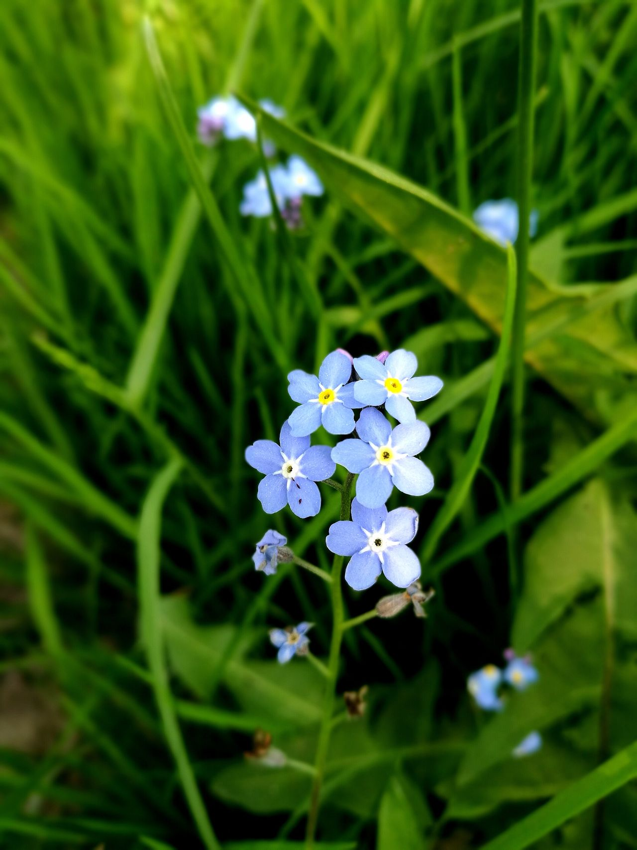Forget Me Not Nature Outdoors Fragility Beauty In Nature Close-up Blue Nature Reserve Meadow