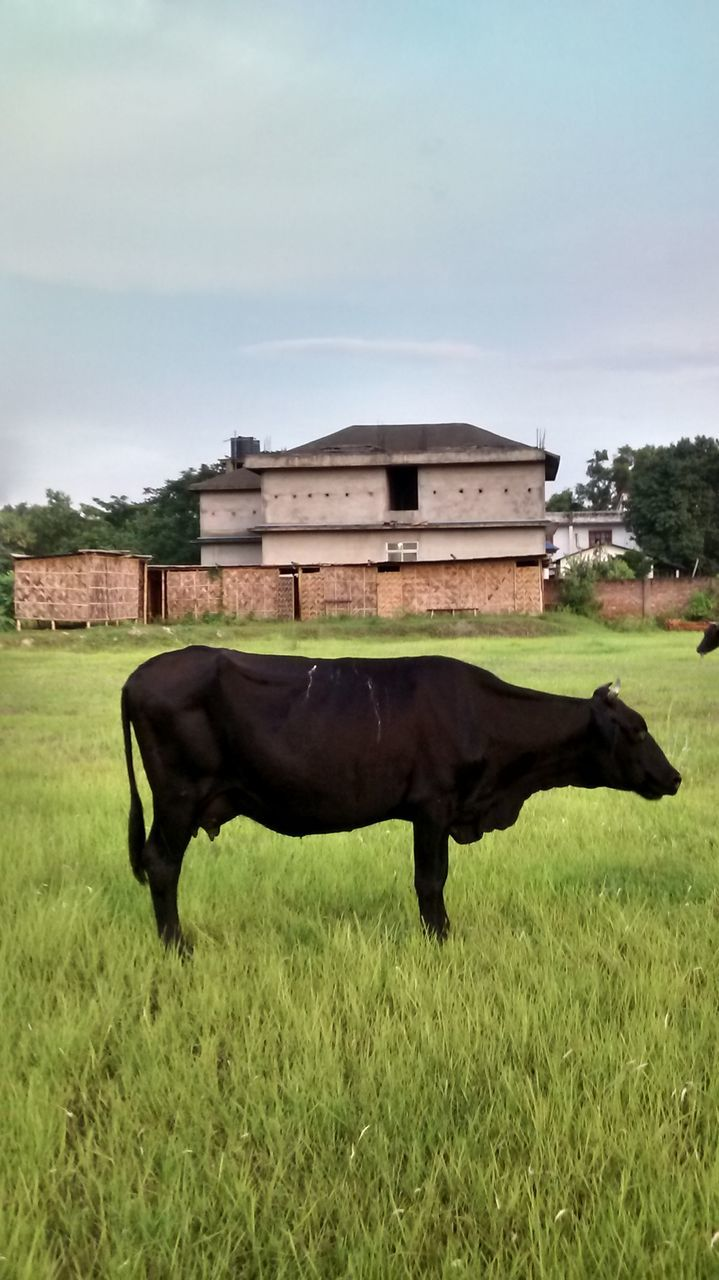 Black Cow On Grassy Field Against Sky