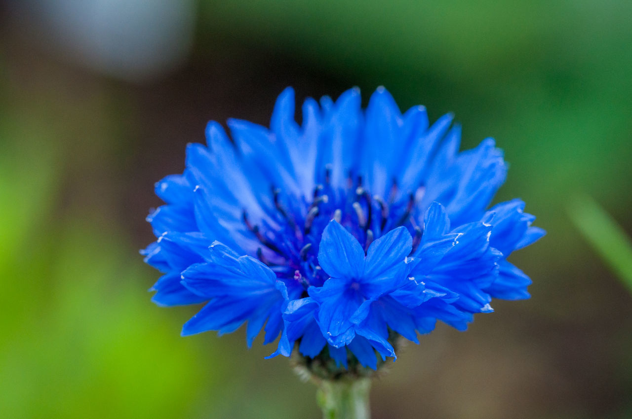 Kornblume Beauty In Nature Blooming Blue Blue Sky Close-up Cornflower Day Flower Flower Head Focus On Foreground Fragility Freshness Growth Kornblume Macro Macro Photography Nature No People Outdoors Petal Plant