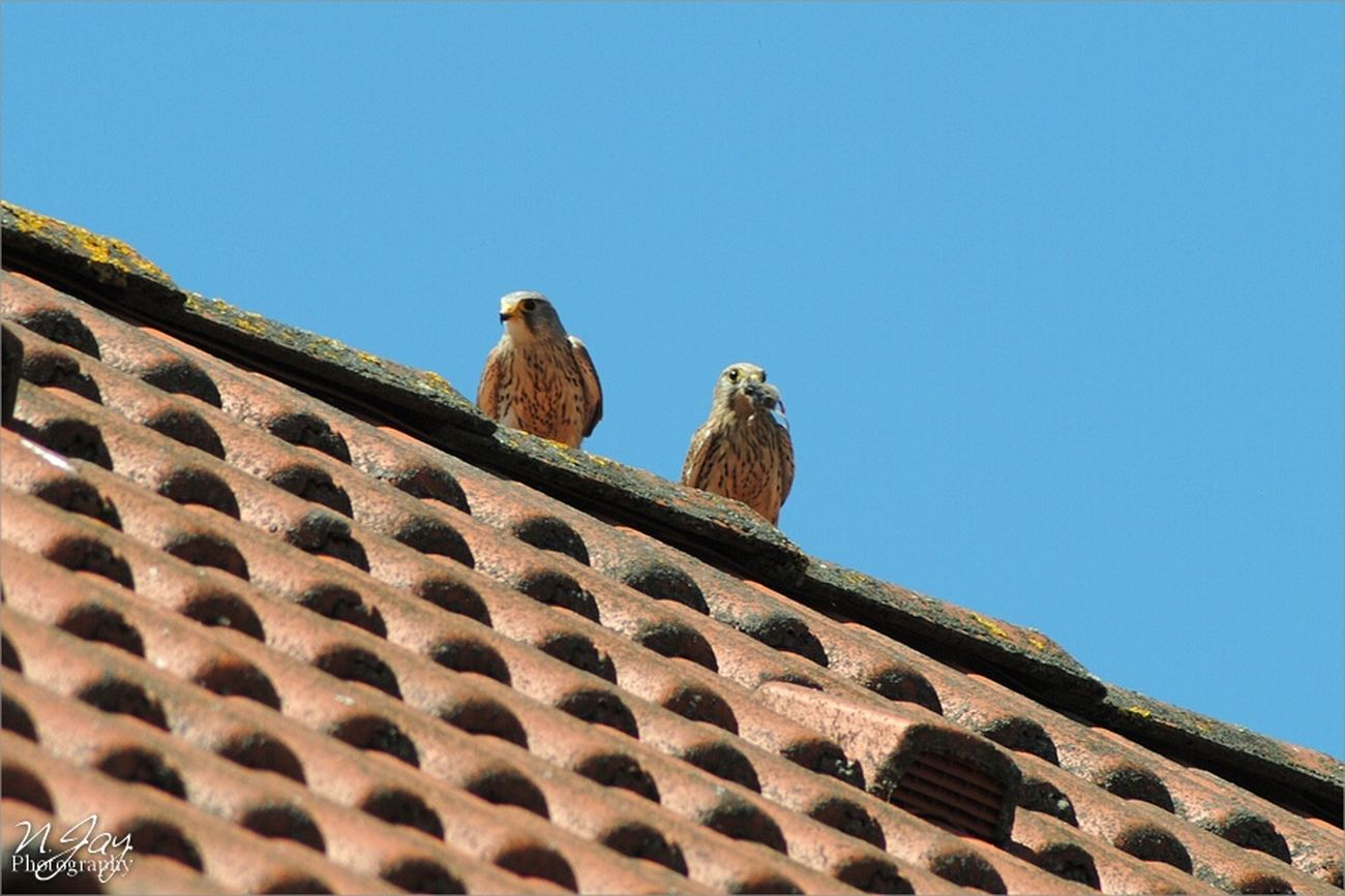 Male and female Kestrel on our Rooftop. Birds Birdwatching Birds Of Prey Falcon Germany Nature EyeEm Nature Lover Animals