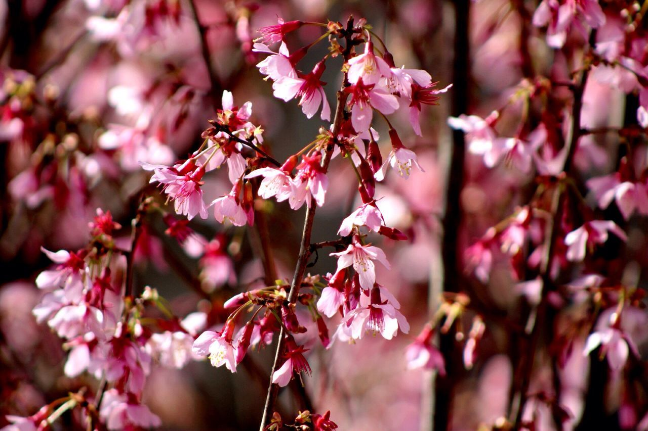 Spring blooms early.... Flower Growth Nature Beauty In Nature Eyemphotography EyeEm Best Shots Pink Color Springtime Spring Freshness Fragility No People Outdoors Blooming Close-up Day Tree Flower Head Plum Blossom