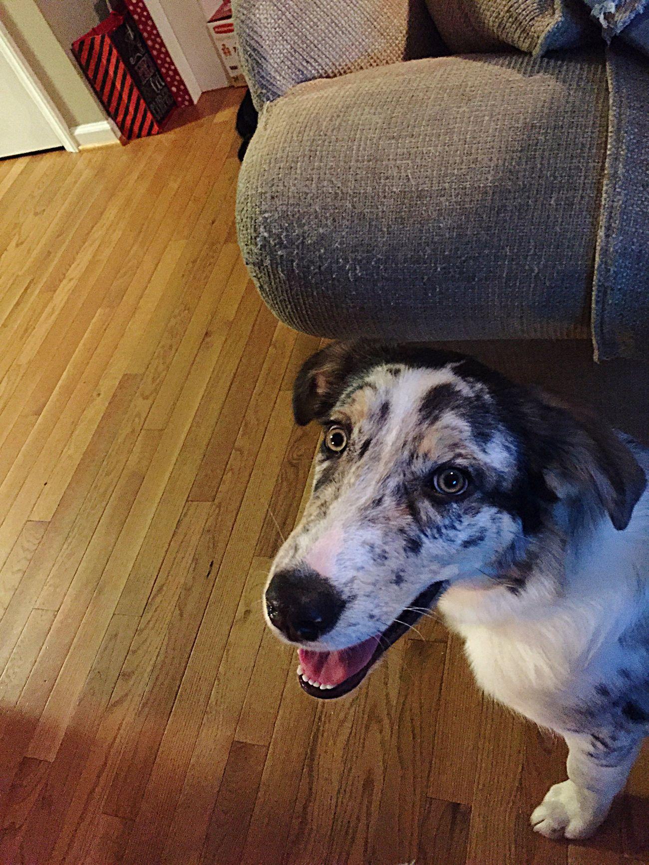 Pets Blue Heeler