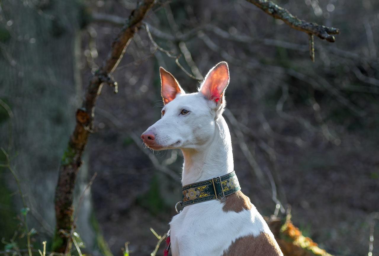 Alertness Animal Curiosity Dog Ibizan Hound One Animal Pets Podenco Ibicenco Side View