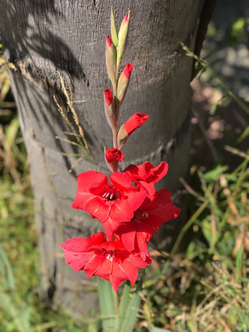 red, nature, growth, petal, beauty in nature, no people, fragility, flower, outdoors, day, close-up, plant, hibiscus, blooming, flower head, freshness
