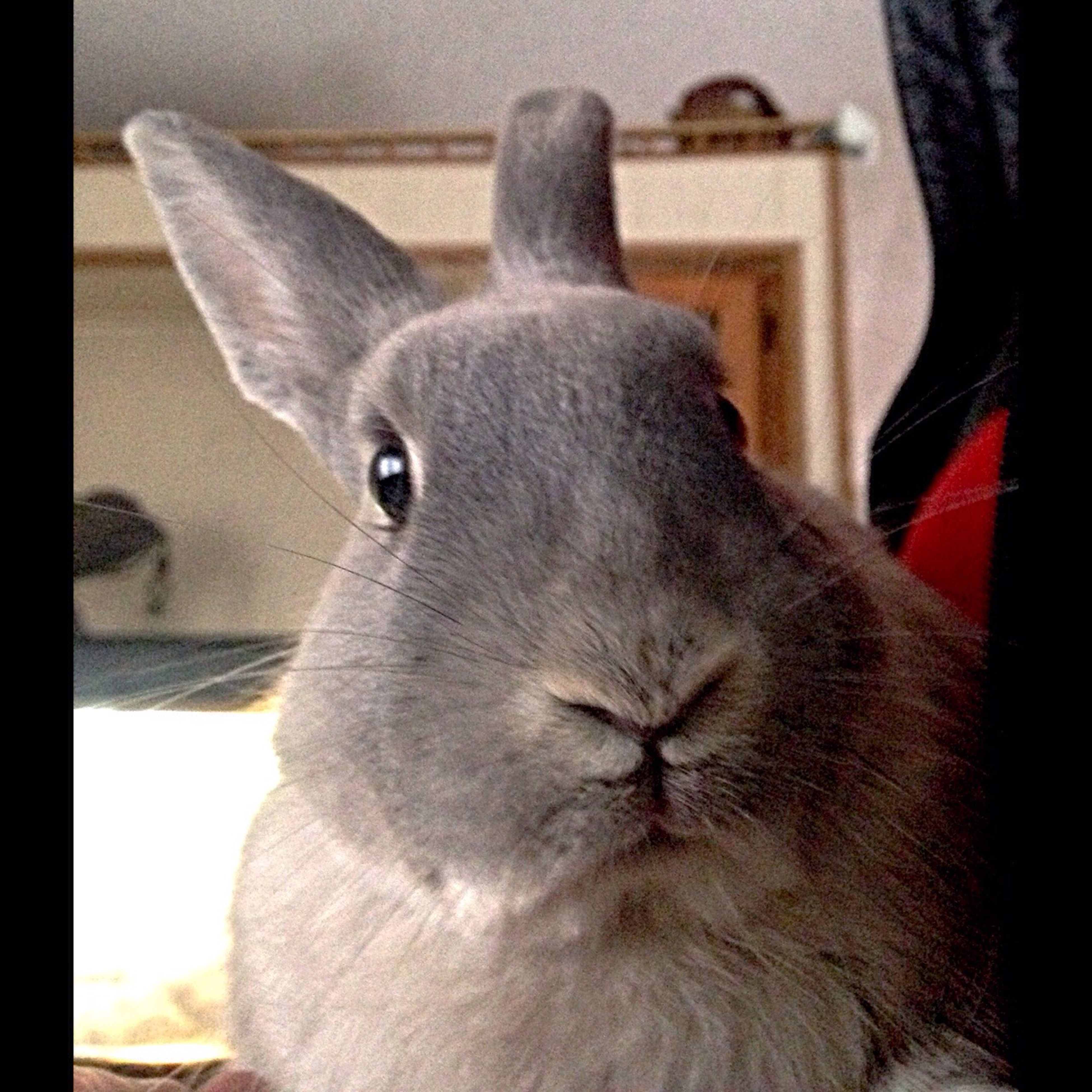Silver bunny looks stunned about being adopted lol. Cute Pets Bunny  Rabbit Adoptastray