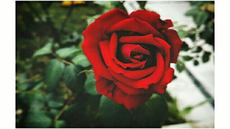 Eternal Beauty. Flower Red Plant Rose - Flower Nature Fragility Beauty In Nature Close-up Flower Head Petal Solace No People Outdoors Freshness Day Love Is In The Air