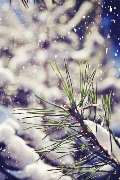 Winter is coming Winter Beautiful Cold Winter Mood Wintertime Snow ❄ Snowing Let It Snow Moments Amazing View Likeforlike Followme Snowflakes Happy Time Winter Trees In The Forest Forestwalk Winter Forest Cold Morning Beautiful Nature Pine Green White Sunny Day Snowy Days...