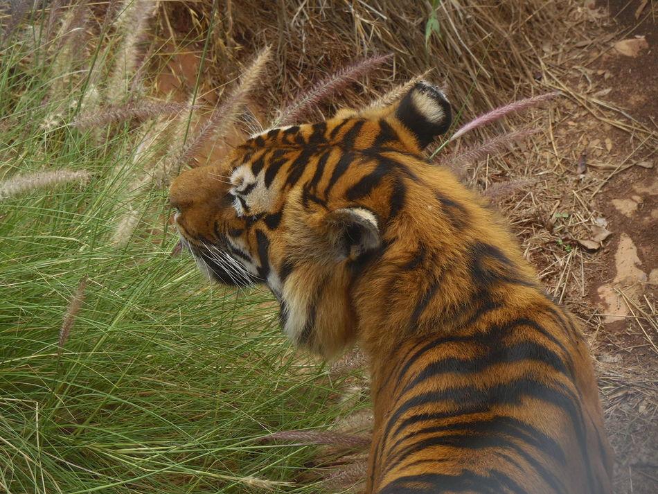 Tiger Beaglelovers Majestic Nature Dangerous Carnivorous Mammal Deadly Wildlife & Nature