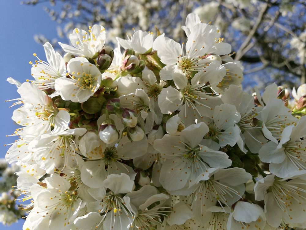 Flower Nature Beauty In Nature Flower Head Outdoors Cherry Tree Cherry Blossom Springtime Spring Time Spring Cherry Blossom