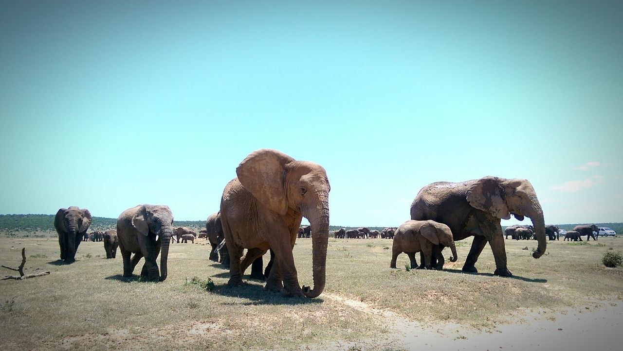 Addo Elephant Park - South Africa 2015 African Animal Animal Themes Animals In The Wild Elephant Elephants Family Family Gathering Gathering Mammal Migration Outdoors Safari Safari Animals Selfie Southafrica_2015 Take Photos Togetherness Vacation Vignette Wait For Me Walking Wildlife Zoology